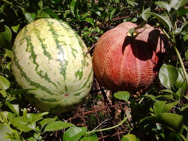 Watermelon and melon
